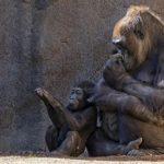 ゴリラの子育ての期間について!子供や父親と遊ぶ!?