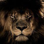 野生のライオンの生息地について!日本には生息してる?