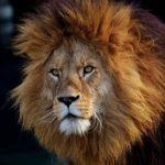 野生のライオンは何を食べ物にして生活しているの!?