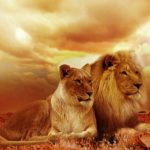 ライオンのメス・オスの体重の平均はどれくらい!?