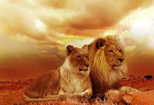 ライオン 体重 平均 メス オス