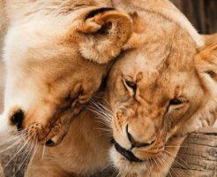 ライオン たてがみ 無い