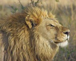 ライオン たてがみ いつから