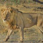 ライオンのオスメスの役割や強さの違いについて!
