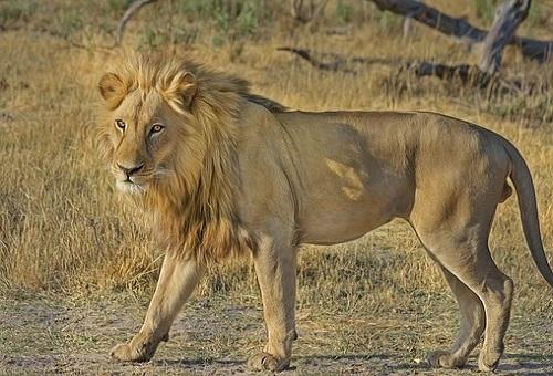 ライオン オスメス 役割 強さ