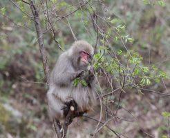 猿 種類 白