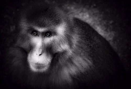 猿 最強 種類