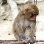 猿は人間の言葉を理解できる!?