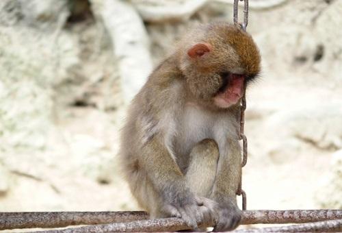 猿 言葉 理解