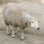 羊の平均寿命ってどれくらい!?