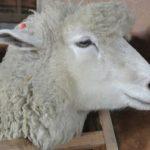 羊のメリノ種ってどんな種類!?学名や原産国について!