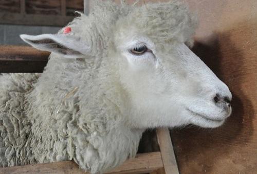 羊 メリノ種 学名 種類 原産国