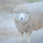 アイルランドの羊の種類は?羊の高速道路があるのは本当?