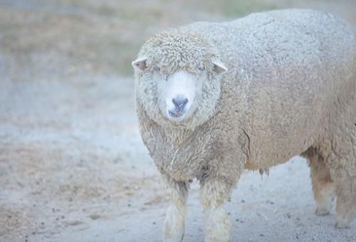 羊 アイルランド 種類 高速道路