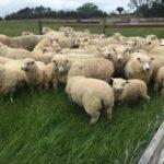 羊の毛の種類や特徴についての一覧 !