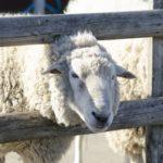 羊の腸の長さや特徴について !