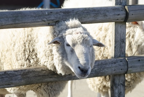 羊 腸 長さ