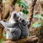 かわいい動物コアラの生態について!