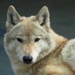 野生の狼って日本に生息しているの!?