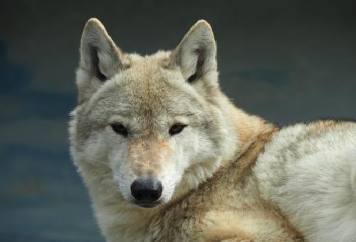 狼 生息 日本