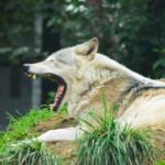 狼と犬の関係性とは?違いは何!?