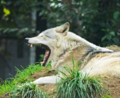 狼 犬 違い 関係