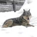 日本で狼が見れるおすすめの動物園は!?