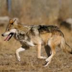 狼の特徴とは?どんな性格をしているの!?