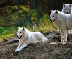 狼 群れ 移動