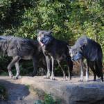 狼の群れのオスとメスの数はどれくらい!?