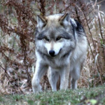 狼の種類の一覧まとめ!数はどれくらいいる!?