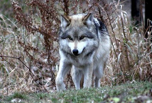 狼 種類 一覧 数