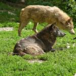 黒色や白色の毛の狼の種類は何!?