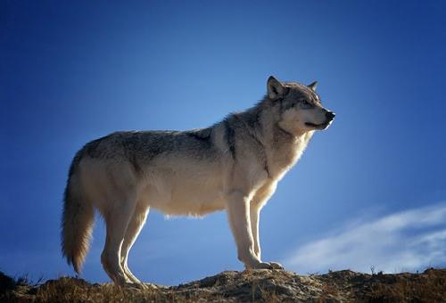 狼 英語 発音 名前 由来