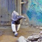 アリクイの動物園で与えてる食事の内容とは!?