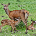 鹿の出産の時期とは?出産方法は!?