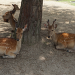 奈良公園にいる鹿の種類は一体何!?