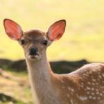 鹿には夏毛と冬毛がある!毛の生え変わる時期とは!?