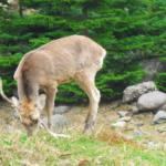 鹿の角は1年で落ちて生え変わる!どうして!?
