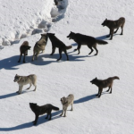 狼が群れを作るのにはどんな役割があるの!?