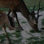 鹿のツノはなぜ枝分かれした形をしているの!?