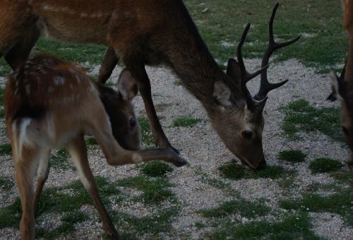 鹿 ツノ 形