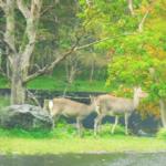日本の鹿の増加問題!増えた原因は何!?