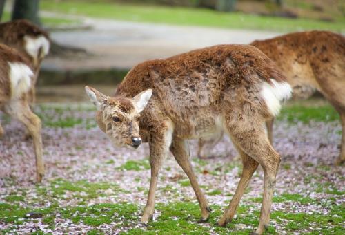 鹿 日本 生息 数