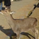 奈良の鹿に鹿せんべい意外の餌やり禁止!?その理由とは?