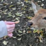 鹿が好きな餌は何!?野菜やどんぐりは食べる!?