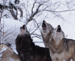 狼 鳴き声 意味