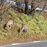 鹿の飛び出しに注意!鹿の習性を知って対策しよう!