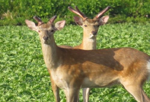 鹿 捕獲 方法