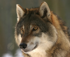 狼 狩り 方法 成功率